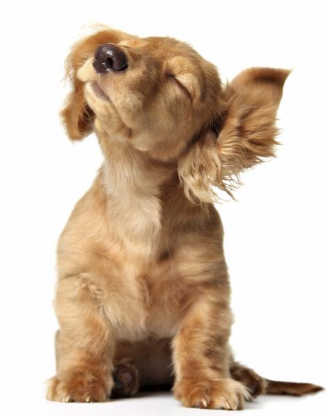 Cute puppy shaking its floppy ears