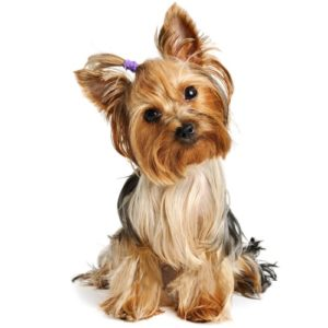 yorkshire-terrier-cheapet-pet-shop-85fN14-clipart